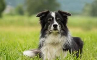 Особенности ухода и содержания за собакой породы бордер-колли