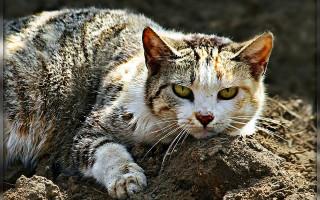 Печеночная недостаточность у собак и кошек (лечение)