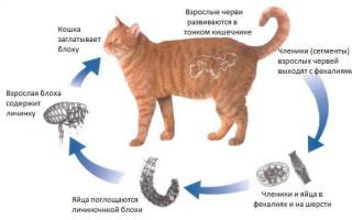 Передаются ли глисты у кошек человеку и как предотвратить заражение