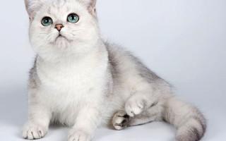 Всё о шотланской вислоухой кошке: характер, питание, уход