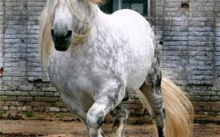 Разновидности лошадей лошадь першерон