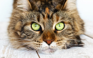 Как воспитывать мейн-куна: как справиться с агрессией и обучить кошку выполнению простых команд