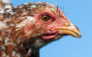Орловские ситцевые куры – фото и описание породы