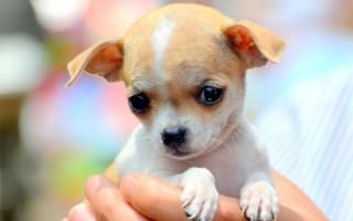 Как поставить уши чихуахуа: когда у щенка чихуахуа встают уши