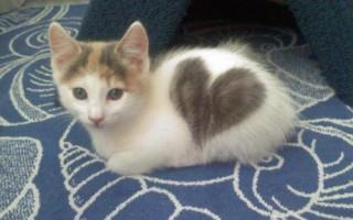 Вязка кошек  что нужно знать хозяину