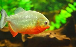 Содержание пираний в домашнем аквариуме