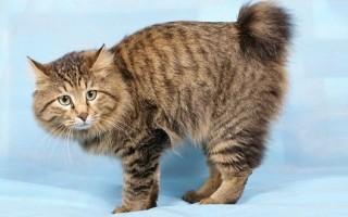 Курильский бобтейл питание кошки