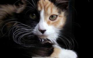 Вакцинация кошке от лишая