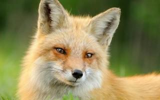 Лиса животное. Образ жизни и среда обитания лисы