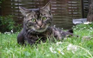 Глистогонить кошку: виды паразитов и правила использования препаратов