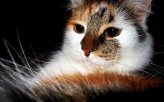 Течка у кошки: когда начинается, что делать? Сколько длится течка у кошек