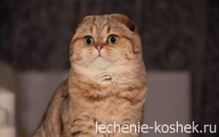 Микоплазмоз у кошек и котов