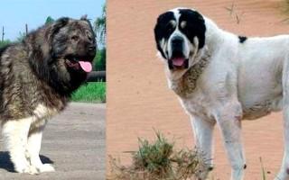 Сравнение алабая и кавказской овчарки