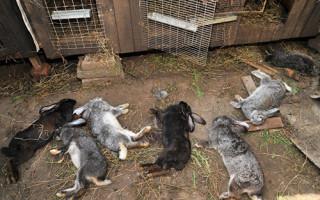 Может ли домашний или декоративный кролик заболеть бешенством – Общая информация