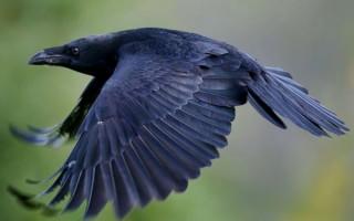 Вороны в домашних условиях: уход
