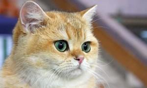 Увеит у кошек причины возникновения. Увеит у кошек: причины, признаки и способы лечения. Осложнения заболевания у кошек