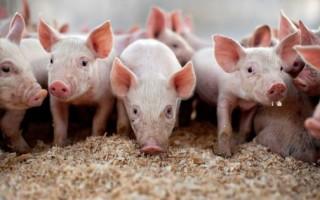 Свиной грипп H1N1 — признаки, симптомы и лечение свиного гриппа
