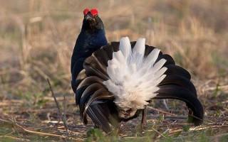 Тетерев птица. Образ жизни и среда обитания тетерева