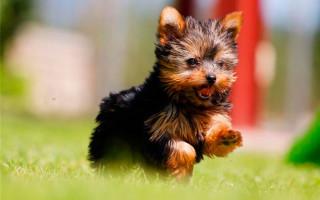 Как выбрать щенка йоркширского терьера