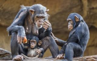 Шимпанзе охотно делятся едой только с друзьями