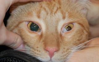 Травма глаза кошачьими когтями — Питомник GALA-CAT