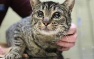 Как лечить стафилококк у кошек