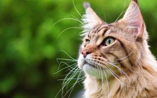 Самые популярные породы кошек в России и мире (фото)