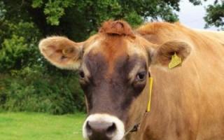 Джерсейская порода коров : характеристика и описание породы
