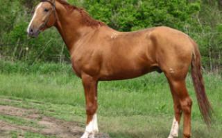 Донская порода лошадей: история донской породы, особенности экстерьера, продажа степного дончака