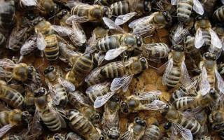 Карпатские пчелы описание и особености поведения