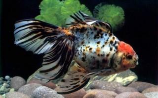 Сколько живут аквариумные рыбки?