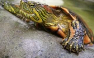 Как правильно содержать красноухих черепах