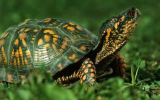 Почему черепаха открывает рот