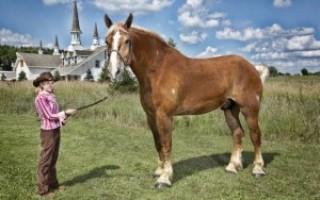 Самая длинная лошадь в мире