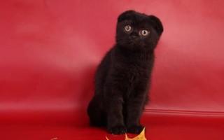 Британская вислоухая кошка: уход и кормление. Шерсть животных.   Слезятся глаза у британской кошки, что делать?