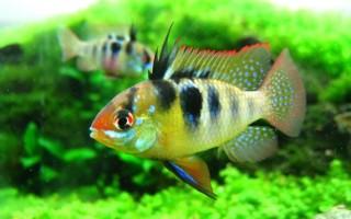 Содержание и разведение аквариумной рыбки апистограммы рамирези