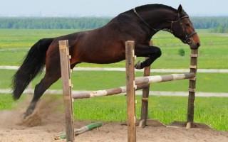 Несомненные достоинства вестфальской породы лошадей