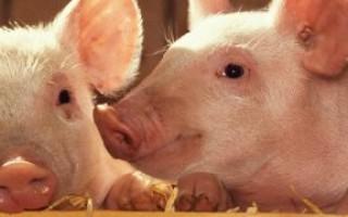 Понос у свиней и как с ним бороться