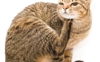 У кота красные уши и глаза. Что делать, если у кошки красные уши? Почему теплеют уши