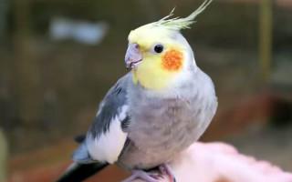 Как определить пол попугая корелла, отличить самца от самки, (фото)