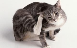 Опасны ли ушные клещи кошек для людей
