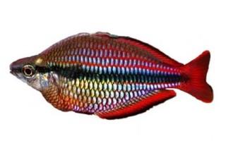 РАДУЖНИЦА ТРЕХПОЛОСАЯ (Melanotaenia trifasciata) » Домашний аквариум