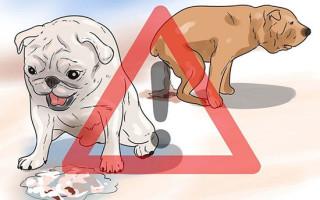 Чем кормить щенка при поносе и не навредить