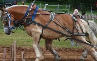 Породы лошадей самые тяжелые лошади