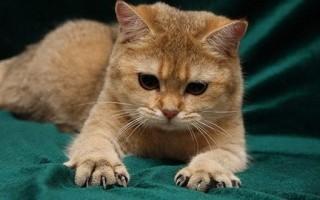 Как подстричь когти кошке в домашних условиях, если она вырывается