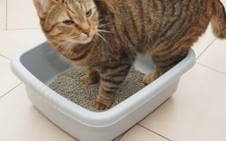 Как самостоятельно приучить взрослую кошку к туалету — Советы по содержанию кошек