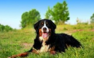 Бернский зенненхунд – описание породы, фото, вес и рост, цена