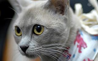 Стерилизация кошек – техника и виды, подготовка и последствия, реабилитация и цены в клиниках