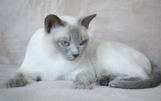 Тонкинская кошка или тонкинез
