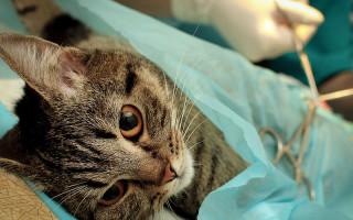 В каком возрасте может проводиться кастрация кота